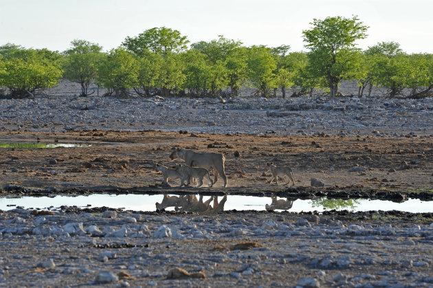 leeuwin met 3 welpen ,Etosha, Namibie