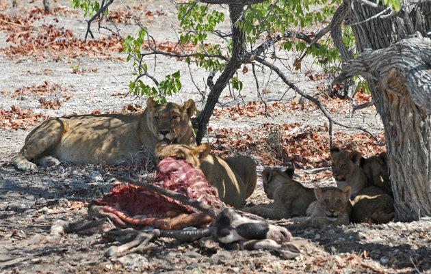 Leeuwen familie na de maaltijd Central Kalahari Gamereserve Botswana