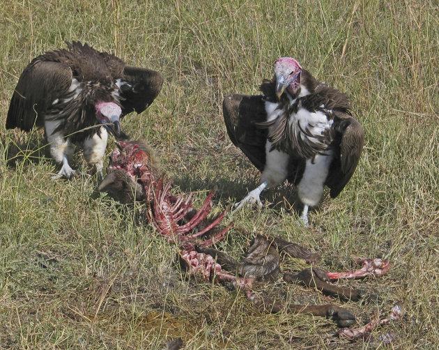 Witkopgieren in de Masai Mara Kenia