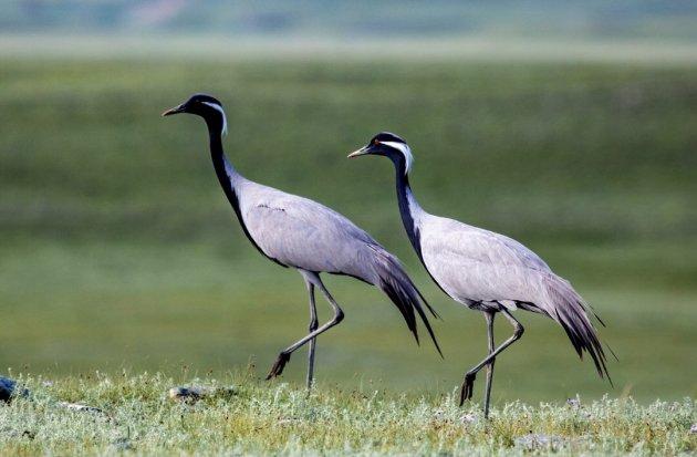 Jufferkraanvogels