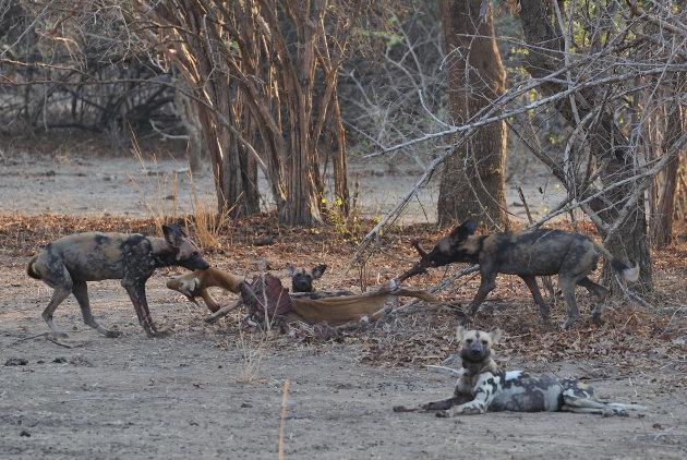 Afrikaanse Wilde Honden in South Luangwa, Zambia
