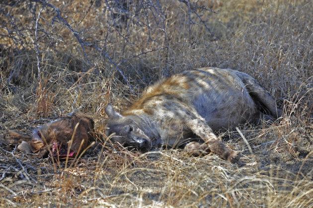 Gevlekte hyena in South Luangwa NP Zambia