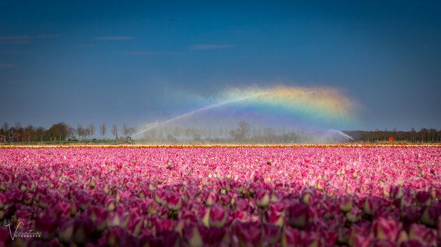 Tulips and Rainbow