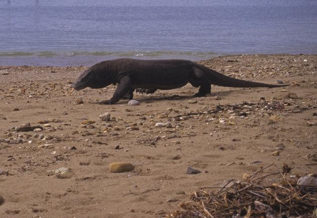 Komodo Varaan op Komodo Island Indonesië