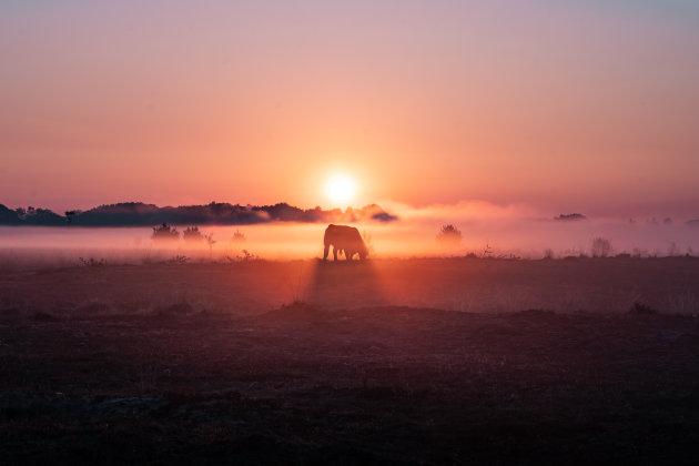 Galloway koeien op de grens met Nederland & België