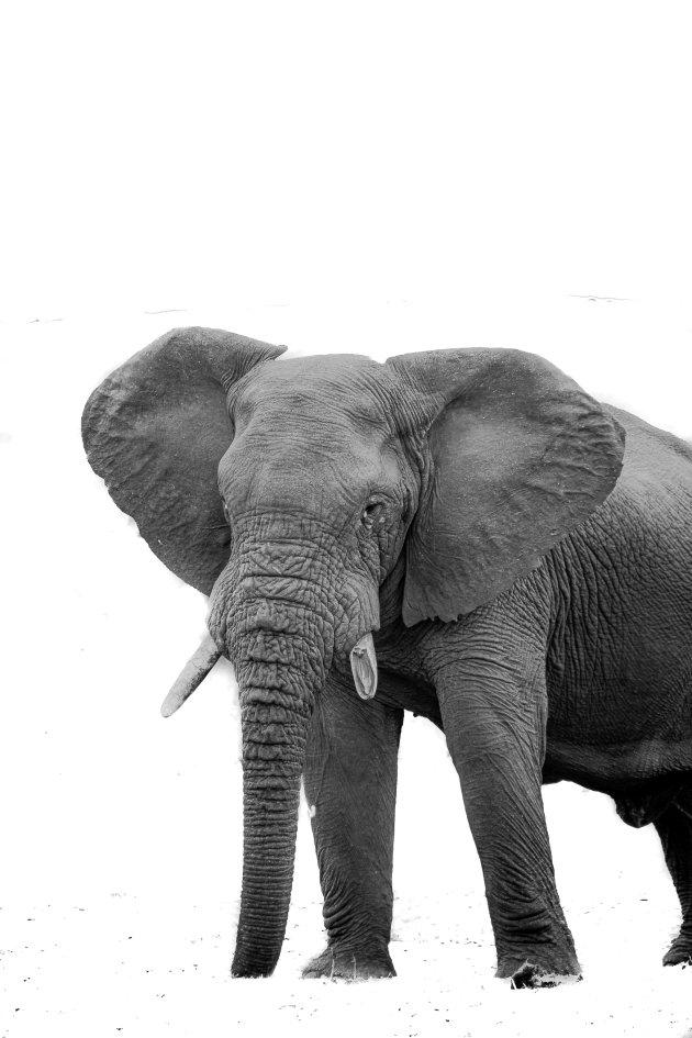 The High-Key Elephant