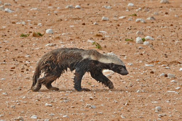 Honeybadger/ Honingdas , Etosha, Namibië