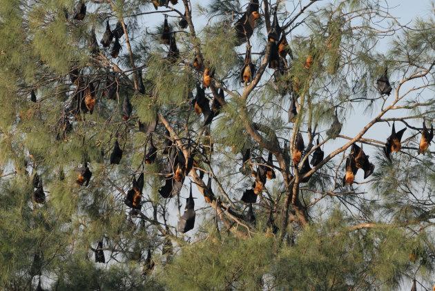 Vleerhonden, Sittwe, Myanmar
