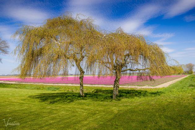 Bomen en Tulpen