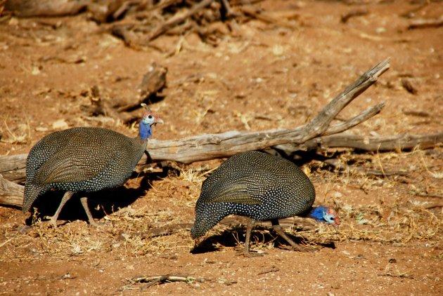 Helmparelhoen in Namibie