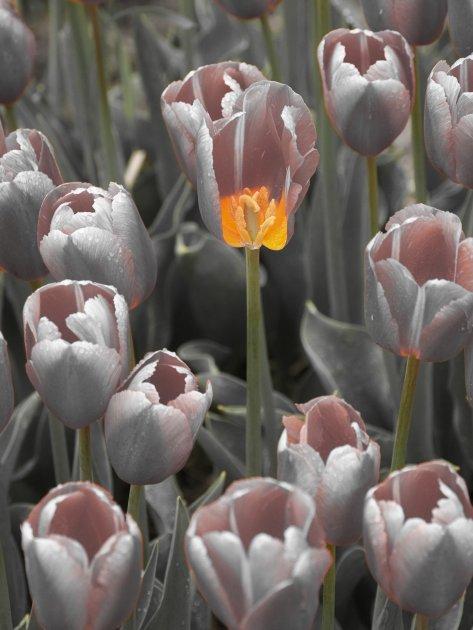 Tulp lampion
