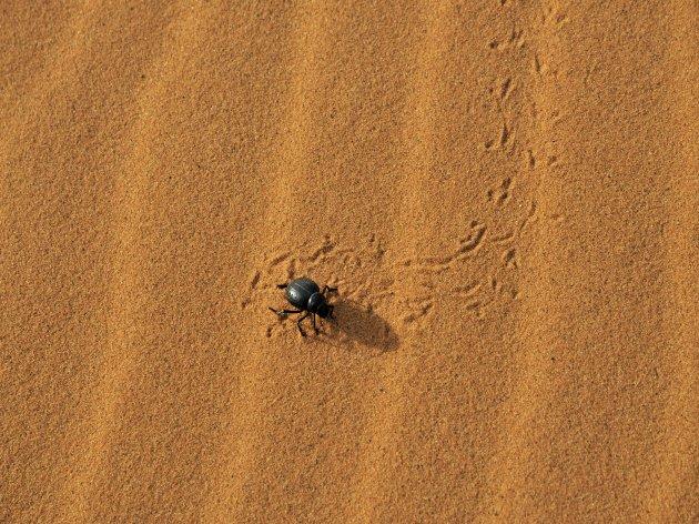 woestijnkever , Merzouga/ Erg Chebbi , Marokko
