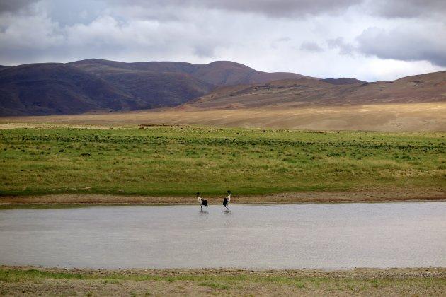 Veel kraanvogels in Tibet?
