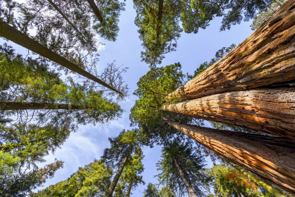 Redwood bomen, Californië VS. Foto: iStock