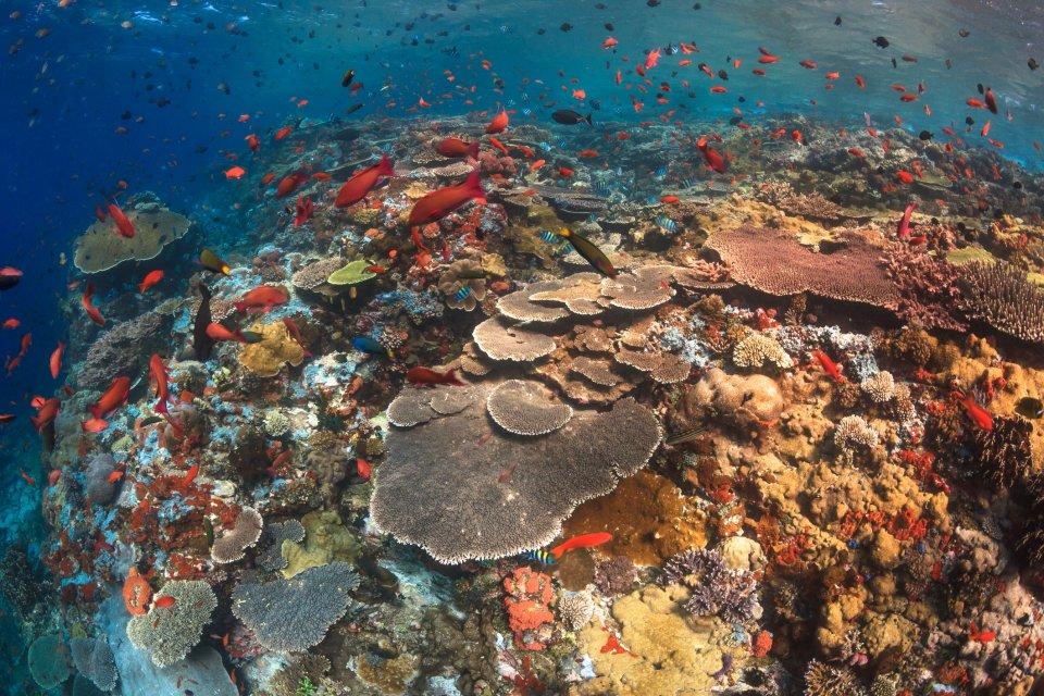 Koraaldriehoek verwijst naar de tropische wateren van Indonesië, Maleisië, Papoea-Nieuw-Guinea, de Filipijnen, de Salomonseilanden en Oost-Timor. CREDIT Tunart