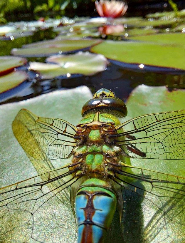 Grote keizerlibel op jacht