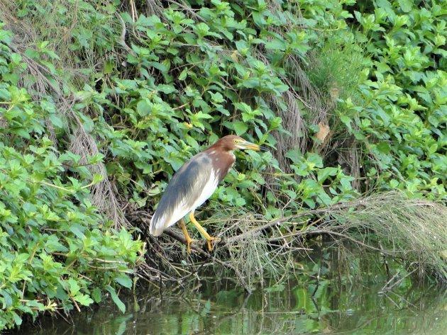 Mooie watervogel in de delta.