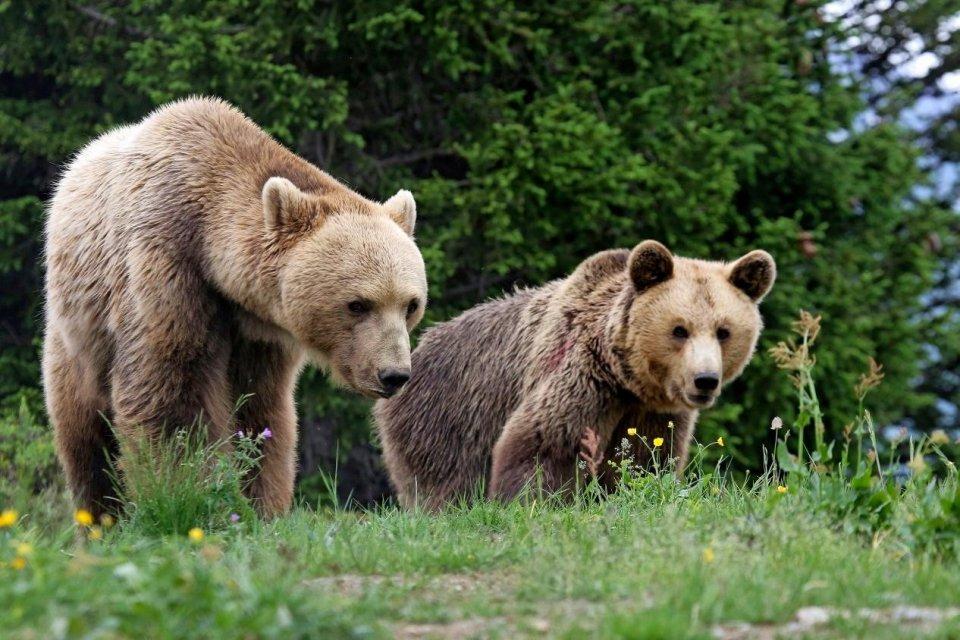Bruine beren in Zwitserland CREDIT Arosa Tourism