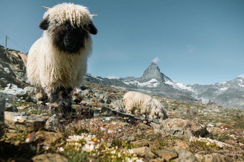Op schapenjacht op de Gornergrat-bergkamp CREDIT Christian Pfammatter