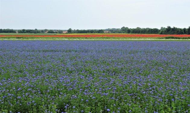 Bloemenvelden op Walcheren.