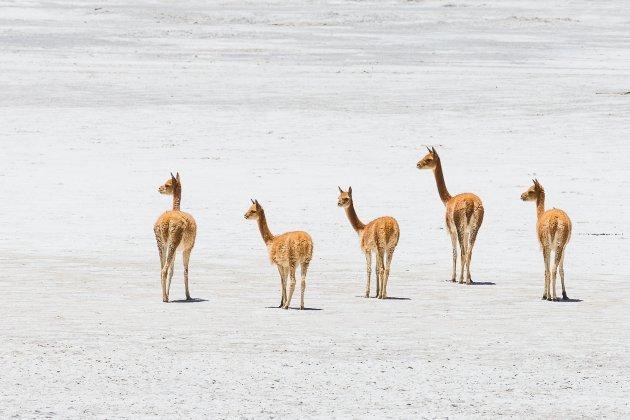 Vicuñas op de zoutvlakte