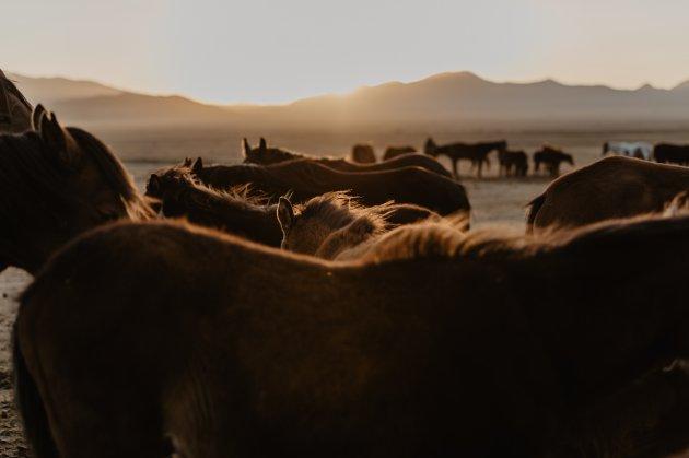 Nomaden paarden.