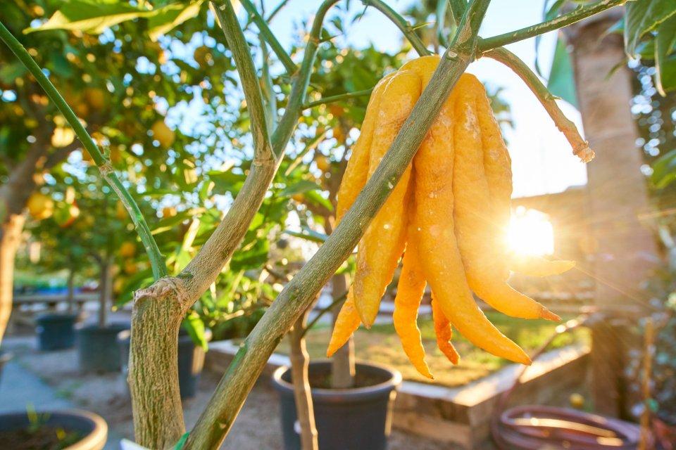Citrus Medica - sukadeboom. Foto: iStock