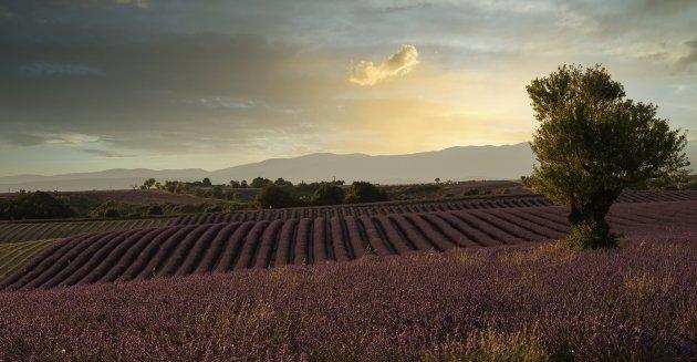 Lavendel daarvoor ga je naar Frankrijk