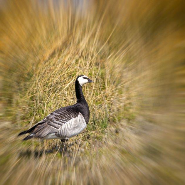 Wilde gans in Zeeland