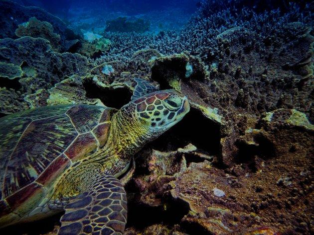 Zeeschildpad in de herhaling