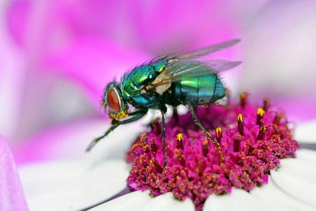 Vlieg op een voorjaarsbloem