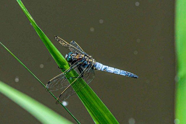 Blauwe platbuik libelle