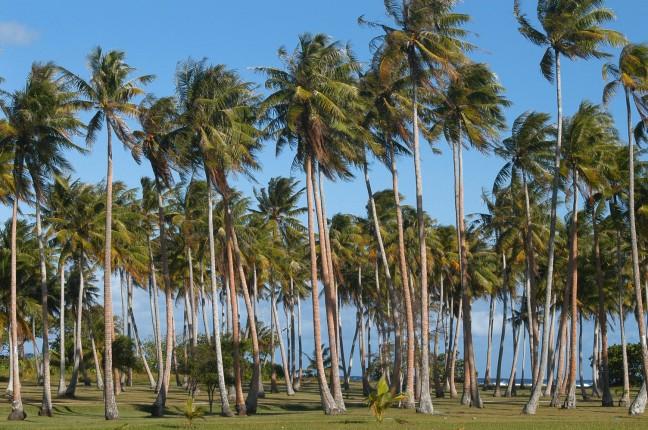 palmbomen op huahine