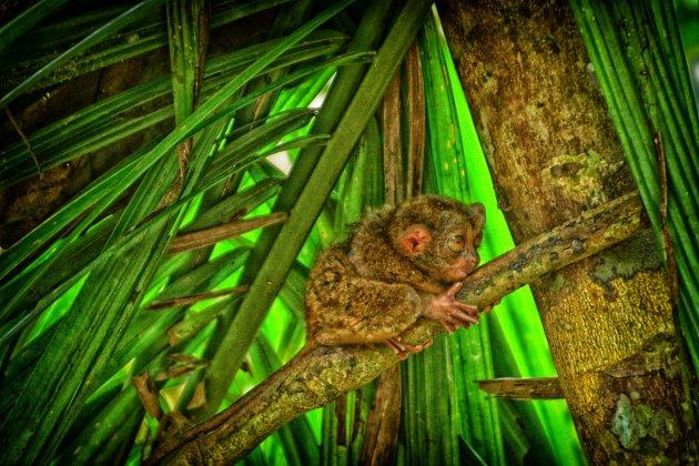 Spookdiertje op Bohol