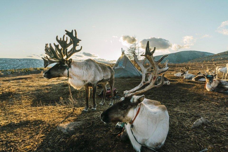 Wandeltochten - Rendieren in Mongolië - CREDIT Getty Images