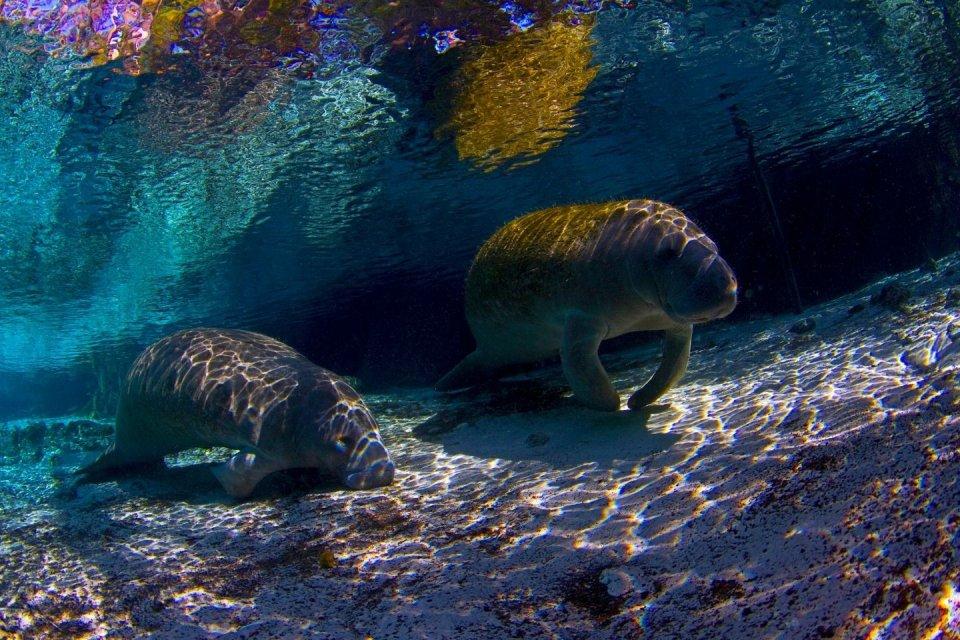 Wandeltochten - zeekoeien in Jamaica CREDIT Getty Images