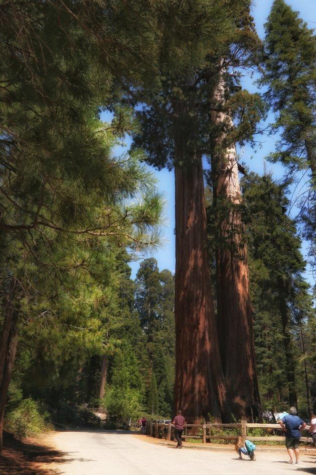 Hoge bomen....