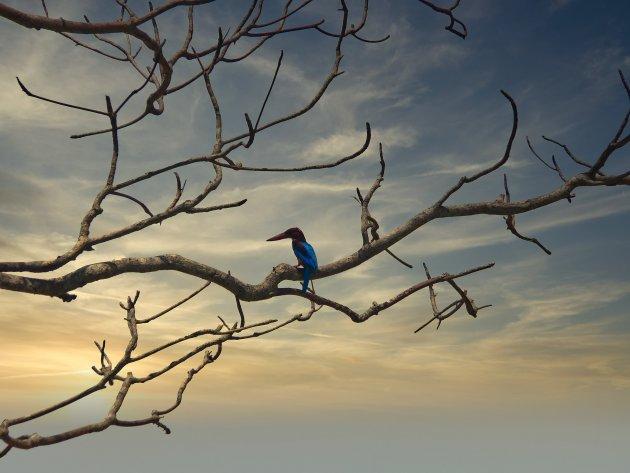 Javaanse Kingfisher