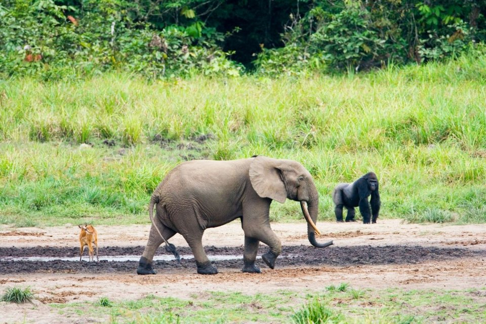 Ivindo NP Gabon. Foto WCS