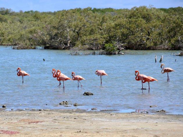 Caribische flamingos