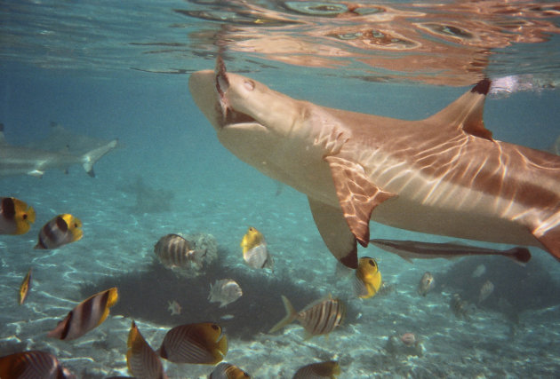 black tip reef haai bij bora bora