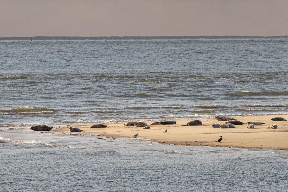 Borkum zandbank met grijze zeehonden CREDIT Getty Images