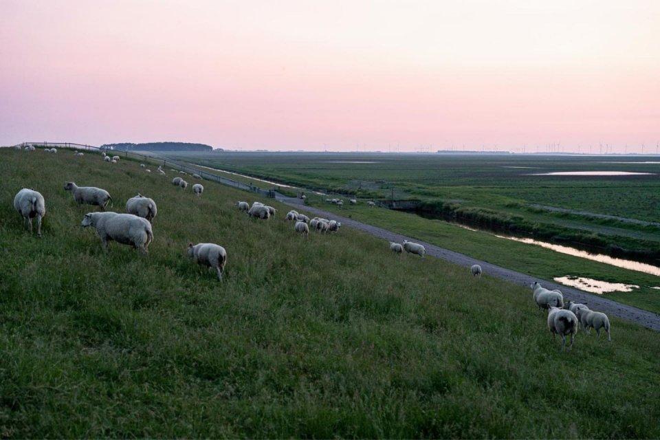Het schapen scheren is geen dagelijks werk meer. CREDIT Tim Bilman