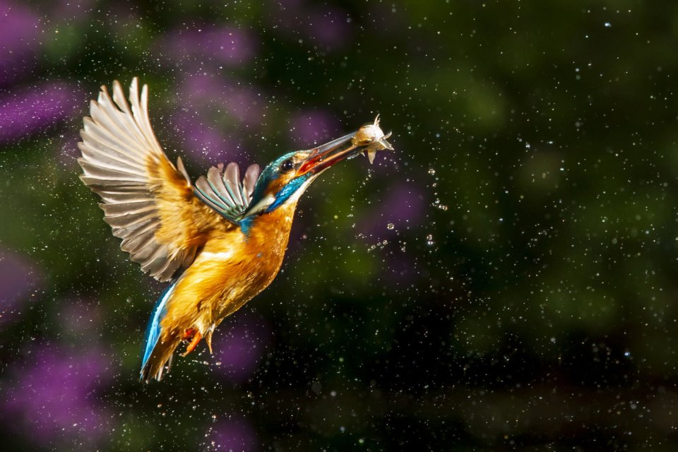 Ijsvogel in de vlucht door antwan