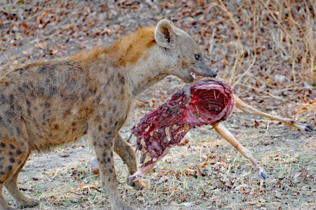 Hyena met kadaver in South Luangwa NP Zambia