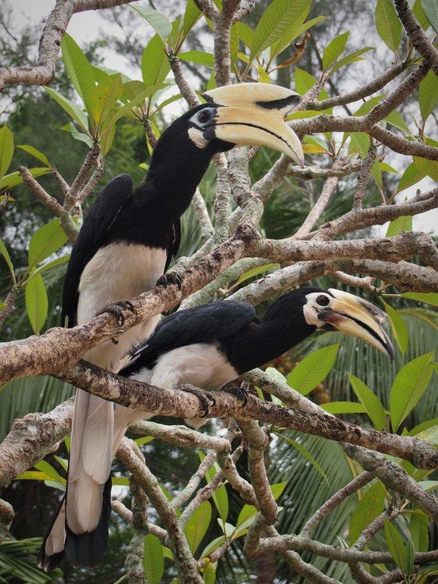 Duo Hornbills