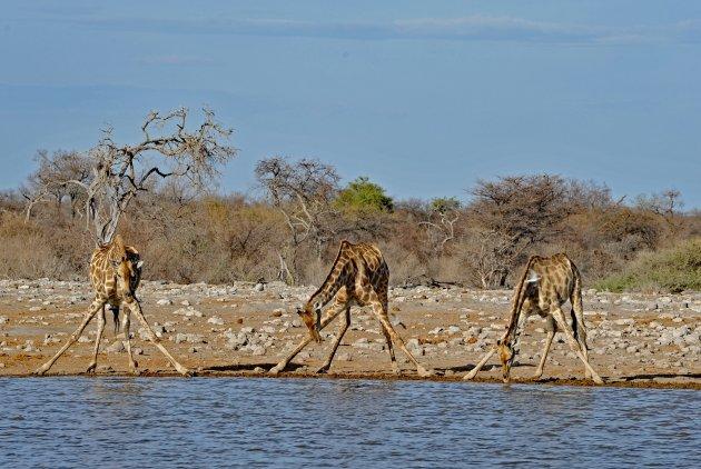 Giraffen bij waterhole   Etosha NP Namibië