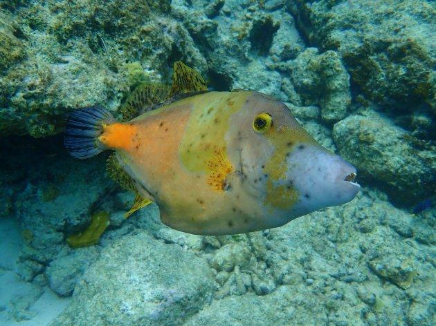 Nieuwsgierige Filefish