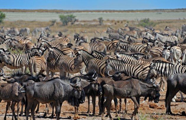 Zebra en Wildebeest kuddes bij waterpunt in Etosha NP