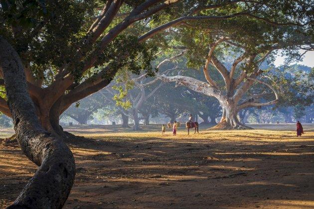 Oude banyan bomen